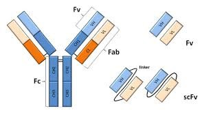 Single Chain Recombinant Antibodies (scFv)